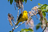 Yellow Warbler, Setophaga petechia, La Plata County, Colorado, USA, North America