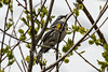 Yellow-rumped Warbler (Myrtle), Setophage coronata coronata, La Plata County, Colorado, USA, North America