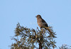 Townsend's Solitaire, Singing,  Myadestes townsendi, La Plata County, Colorado, USA, North America