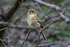 Cordilleran Flycatcher, Empidonax occidentalis, La Plata County, Colorado, USA, North America