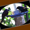 Blackbirdss...Clearwater, Florida...Jan. 01, 2012