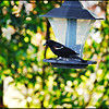 Red Winged Blackbird...Clearwater, Florida....May 21,2011