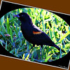 Red Winged Blackbird..Clearwater,Florida...Jan. 01, 2012