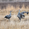 Sandhill Cranes, Grus canadensis, dancing, behavior, Monte Vista National Wildlife Refuge, Colorado, USA, North America