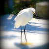 "Snowy Egret     ©  <a href=""http://www.PhotosRUs2008.com"">http://www.PhotosRUs2008.com</a>   Bob Lester   All rights reserved."