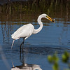 Great Egret, Merritt Island, FL - taken by Jerry Dalrymple
