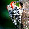 Red-Bellied Woodpeckers bringing anole tail and worms to their chick