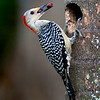 Female Red-Bellied Woodpecker bringing berries to her chick