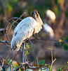 Juvenile Wood Stork at Wakodahatchee has not developed the scaly neck and head that makes the adults look so ancient and saurian.