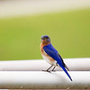 Eastern Bluebird at E.L. Huie Land Application Facility
