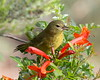 Yellow Throat - female