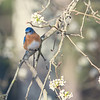 Eastern Bluebird In Pear Tree