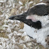 moulting jackass penguin