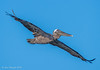 Adult Brown pelican- Full wingspan