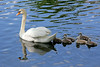 Swan with her young at Heckshire Park in Huntington,LI.