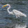 Great Egret with tiny fish
