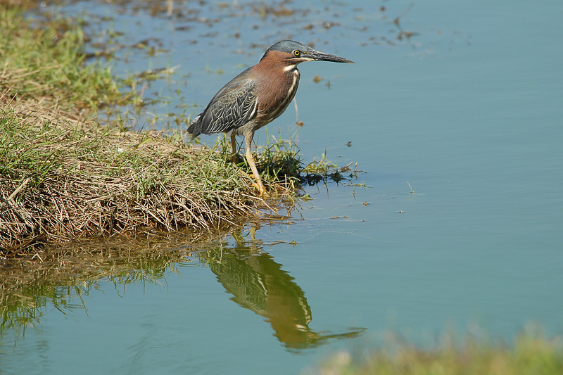 Green Heron, Gilbert Water Ranch, 4/25/07
