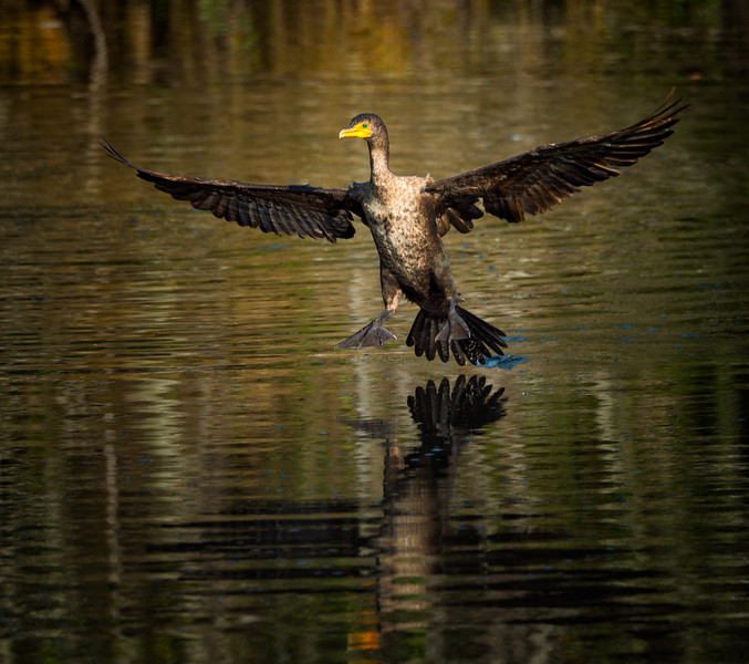Double crested cormorant touching down