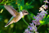 Ruby-throated Hummingbird (female) - Archilochus colubris - Pennsylvania