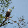 Bald Eagle Pearched