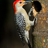Female Red-Bellied Woodpecker bringing worms to her chicks