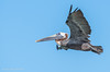 Adult Brown Pelican- flying