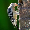 male Red-Bellied Woodpecker delivers berry to his chick