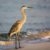 Mississippi Gulf Coast Great Blue Heron