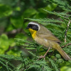 Common Yellow-throat Warbler