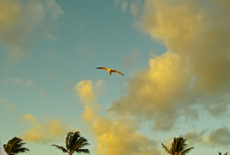 Seagull in dawn light; Ocean Ridge beach