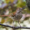 Brown Thrasher-2