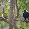 A Blue-Faced Honeyeater (the young ones have a green face, turns blue with age) and a Magpie.