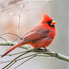 Male Northern Cardinal-5