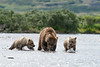 Mother brown bear with two cubs ready to eat