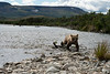 """Brown bear cub coming ashore..........................to purchase - <a href=""""http://bit.ly/1mrknEt"""">http://bit.ly/1mrknEt</a>"""