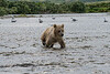 """baby brown bear cub in water.............................to purchase - <a href=""""http://bit.ly/1v7MXLN"""">http://bit.ly/1v7MXLN</a>"""