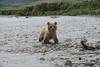 """Brown bear cub looking for his mother upstream......................to purchase - <a href=""""http://bit.ly/1tXWtlq"""">http://bit.ly/1tXWtlq</a>"""