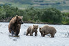 Mother brown bear with two cubs eating salmon
