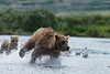 Mother brown bear chasing salmon fast