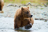 brown bear with big paw out of water