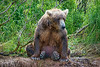 "Brown bear sitting waiting for salmon.................to purchase - <a href=""http://bit.ly/VMMGkq"">http://bit.ly/VMMGkq</a>"