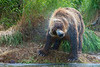 "Brown bear shaking water off a unsucessful salmon dive................................to purchase - <a href=""http://bit.ly/VQc6xt"">http://bit.ly/VQc6xt</a>"
