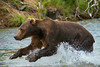 brown bear jumping in water