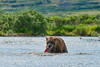 Brown bear with caught salmon in stream
