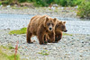 brown bear mother and cub walking up stream