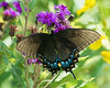 DX7028 Black Eastern Tiger Swallowtail