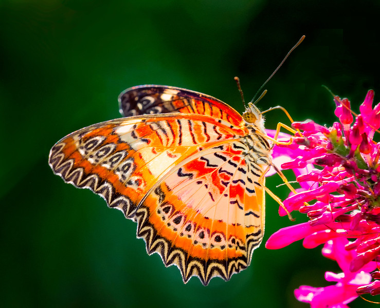 Red Lacewing Butterfly feeding on Fire Spike Flower