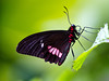 True Cattleheart_parides arcas