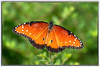 monarch-butterfly_7009167
