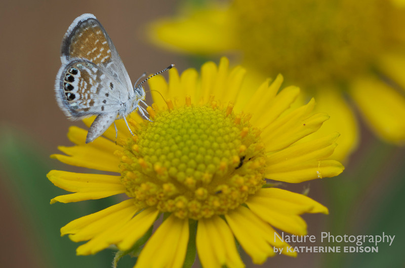 Western Pygmy Blue Butterfly on Basin Blanketflower (Gaillardia spathulata). Desolation Canyon, Utah. 2012.